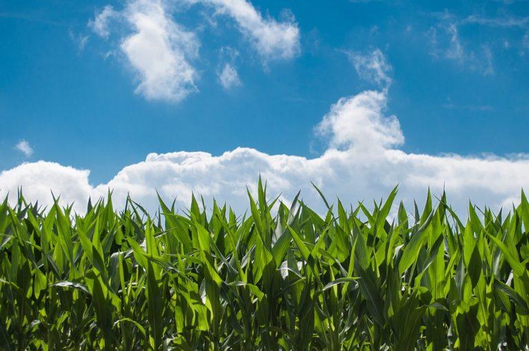 Tecnologia 4.0 trava riscos de contaminação no milho