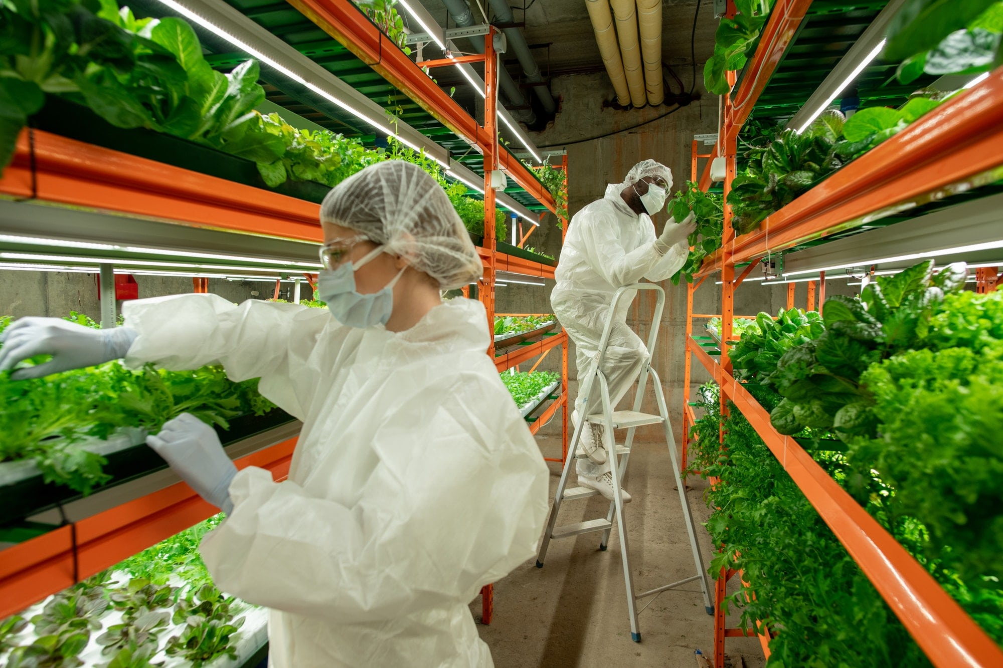 workers of vertical farm examining leaves of lettuce